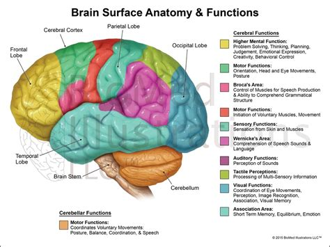 diagram of a human brain brain structure and function diagram anatomy list