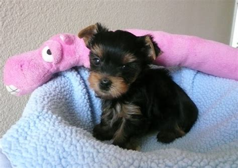 cheap yorkies for sale teacup puppies for sale cheap breeds picture