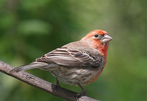 House Finch Images Image Search Results