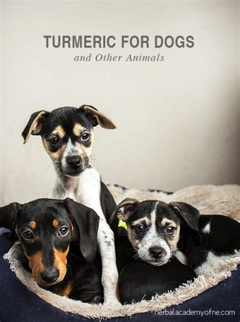 is turmeric safe for dogs turmeric for dogs and other animals herbal academy