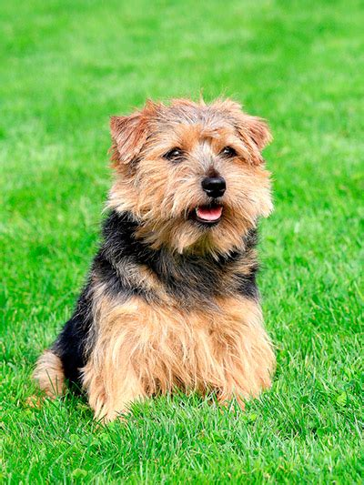rottweiler puppies for sale in norfolk va norfolk terrier breed information