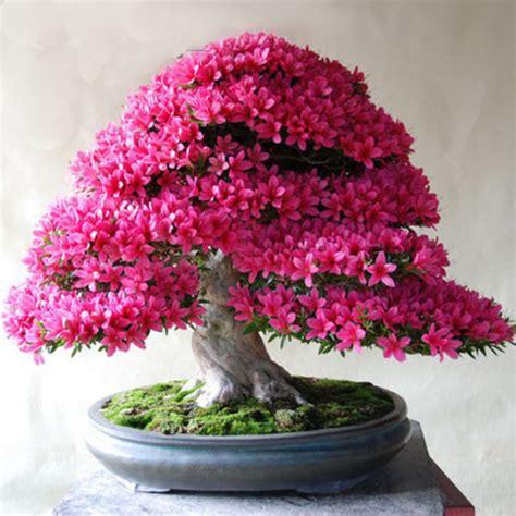 Bonsai Pink 20 pink azalea cherry flower bonsai tree seeds rama deals