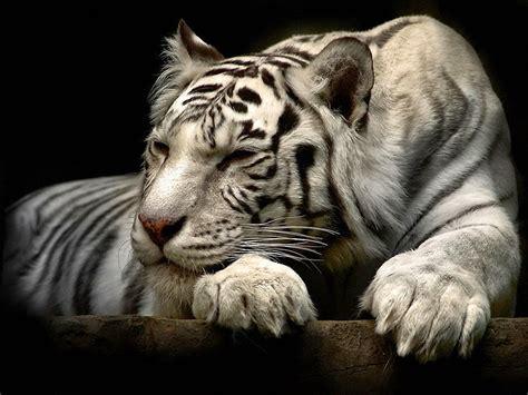 anime wallpaper tiger white tiger 3d anime black wallpaper wallpapersxplore