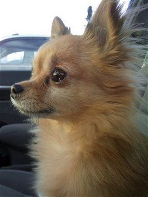 hair cut ideas for a pomeranian chihuahua mix best 25 long haired chihuahua puppies ideas on pinterest