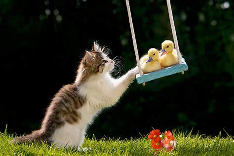 swing that cat duckling animal stock photos kimballstock