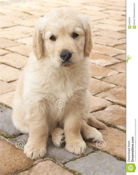 tiny golden retriever small golden retriever puppy stock photo image 6482030