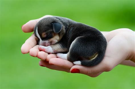 how much are beagle puppies beagle puppies dogtime