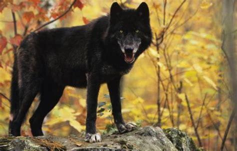 imagenes de negro lobo el misterio del lobo negro de norteam 201 rica