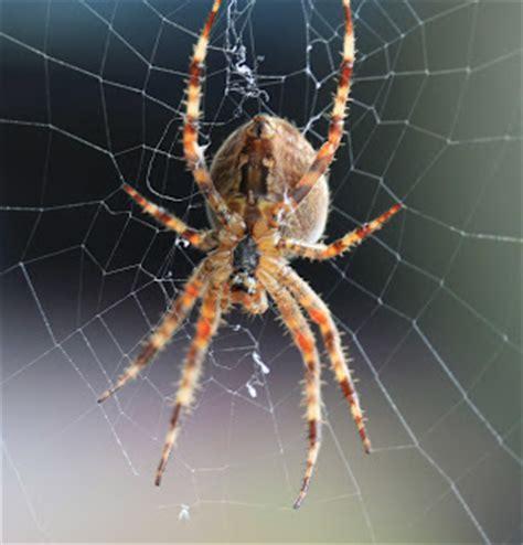 Garden Spider Orb Weaver Travelmarx Garden Orb Weaver Spider