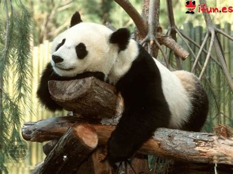 imagenes de hermosos osos fotos de osos panda