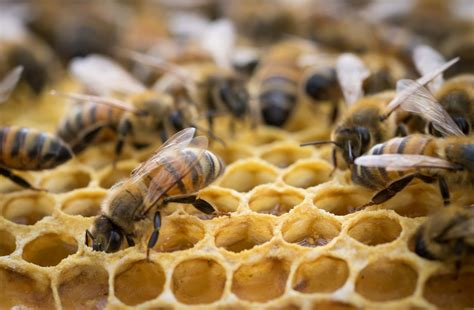 Sprei Honey Bee millions of honeybees been killed by spray intended
