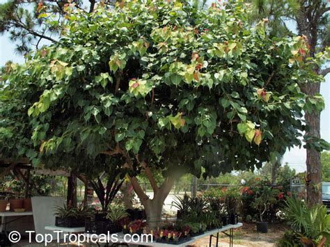 ficus religiosa bo tree sacred ficus peepal tree
