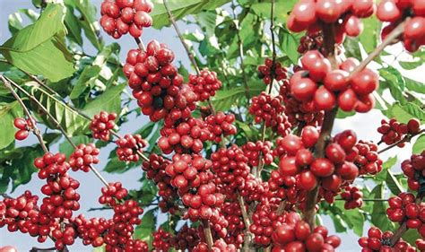 panduan lengkap  budidaya kopi robusta  berbuah