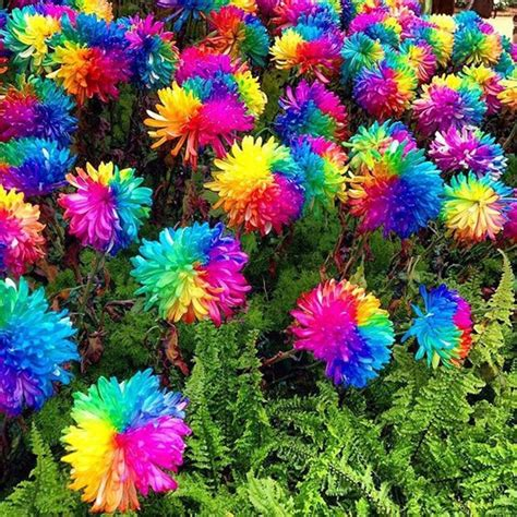 Sale Teh Kembang Chrysanthemun 20 Sachet 20 rainbow chrysanthemum flower seeds color ready set deals