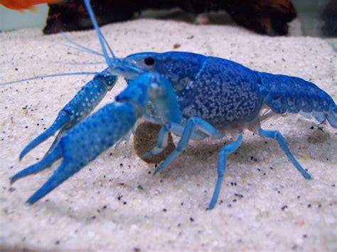 cichlids com blue crayfish eating a veggie pellet