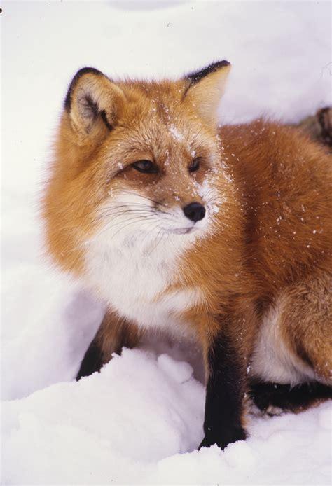 one fox fox