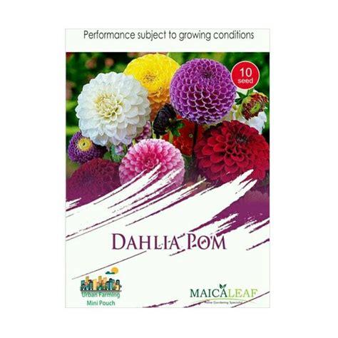 Jual Beli Bibit Bunga Dahlia jual maica leaf bunga dahlia pom benih tanaman 10 benih