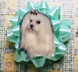 """foxstone maltese presents our new puppy, """"image"""""""