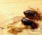 bed bugs alaska is simple do it yourself method more effective than