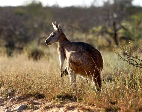 8 Animals From Australia Id To See by Outback Animals Tourism Western Australia