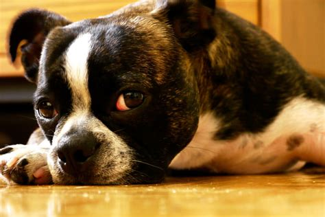 has diarrhea boston terrier puppy has diarrhea dogs our friends photo