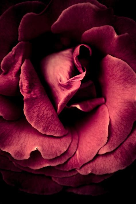 By Alan Shapiro Beautiful Flowers Pinterest Snuggles Climbing | 29 best a rose by any other name images on pinterest