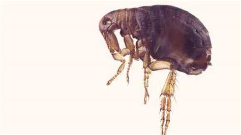 what do fleas look like what do fleas look like petcarerx