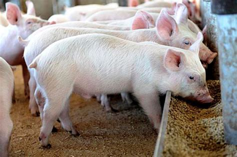 steps to adopting a child in nigeria pig farming in kenya the secrets of millions