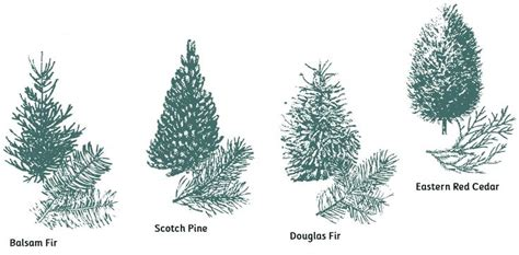 what type of christmas tree lasts the longest types of trees botany horticulture
