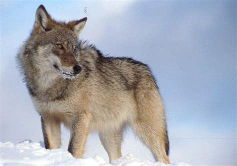 russian wolf vilku veislės ir apie jas foto angl page 2