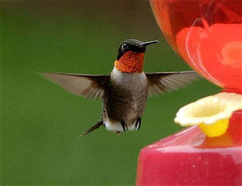 homemade hummingbird syrup recipe – how much sugar is too