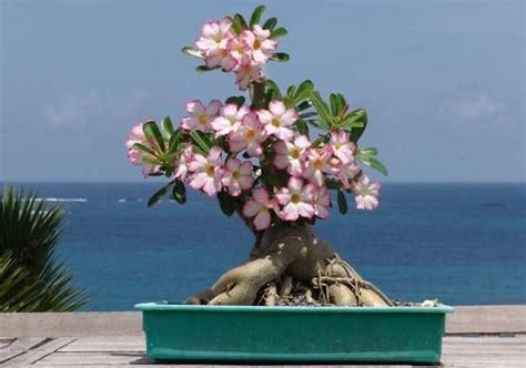 merawat bunga adenium  rumah