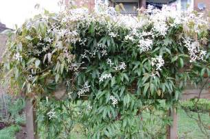evergreen climbing plants for screening clematis armandii clematis evergreen and plants