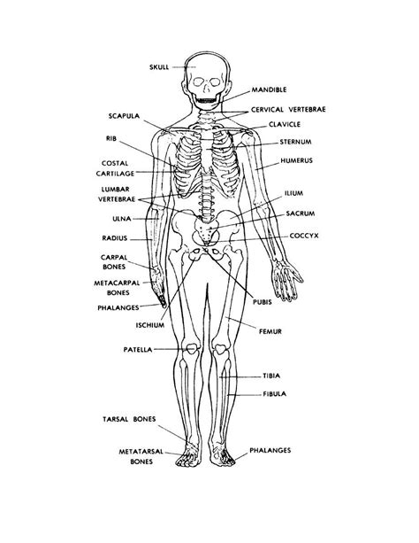 labeled bone diagram gallery printable picture of human skeleton anatomy