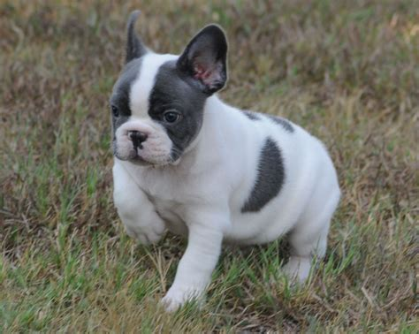 frenchie for sale blue bulldogs for sale 25 background dogbreedswallpapers