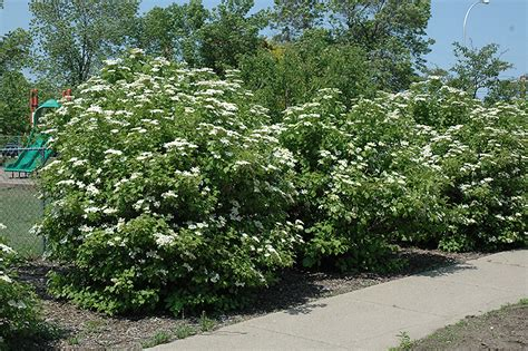 flowering shrubs ontario highbush cranberry viburnum trilobum in hamilton