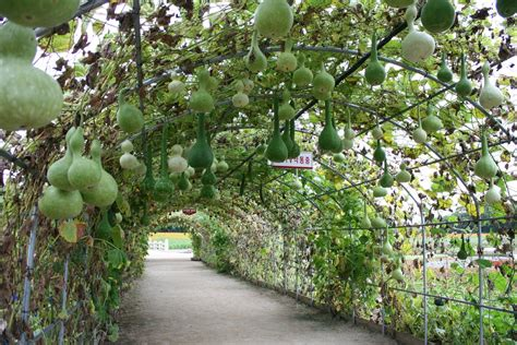 Archway Trellis Squash And Gourd Tunnels That Will Simply Amaze You