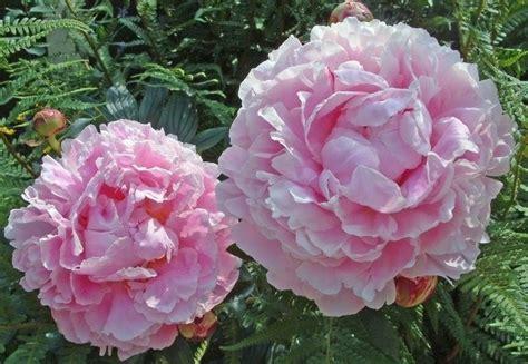 fiore di peonia fiori peonia fiori di piante