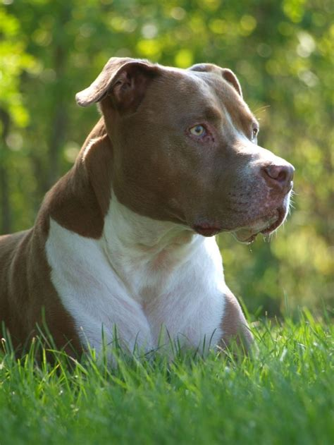 chagne color pitbull pitbull puppy puppies hound dogs american pit