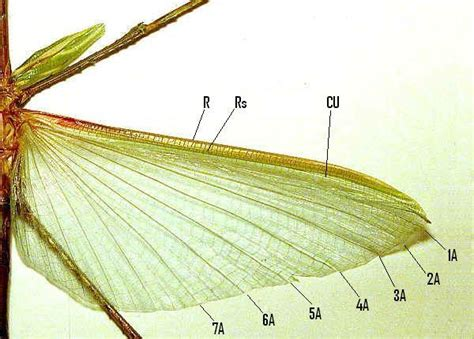 the wings of an insect are attached to this section insect wings