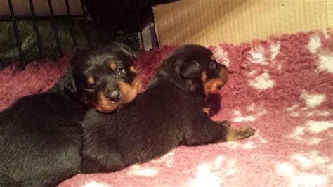 rottweiler puppies for sale in bc rottweiler puppies for sale ferndale rhondda cynon taff pets4homes