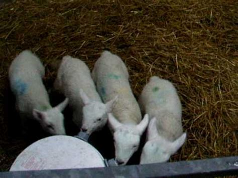 lambs feeding at shepherdess feeder lochbroom youtube