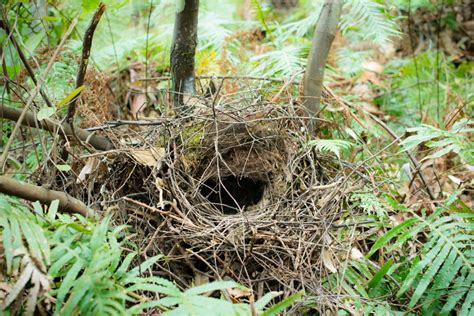 The Birds Nest is australia the birthplace of birds nests