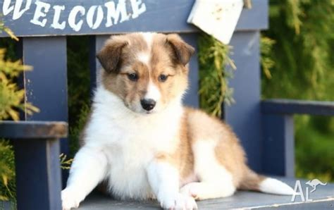 collie puppies for adoption adorable border collie puppies for adoption for sale in melbourne
