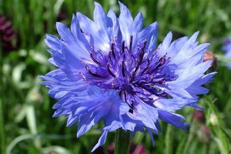 fiore fiordaliso fiordaliso fiori di co coltivare il fiordaliso