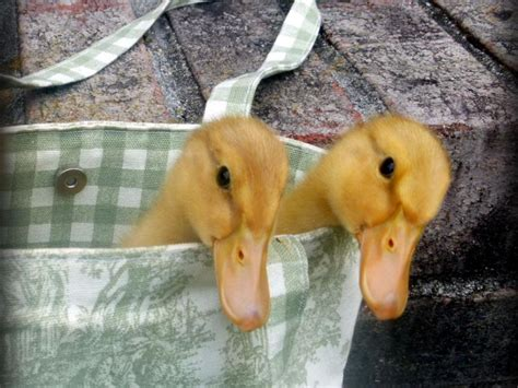 how to raise ducks in your backyard how to raise ducklings hgtv