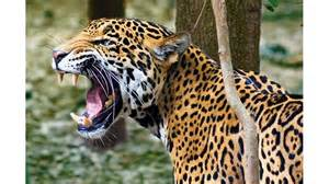 Roar Of The Jaguars Jaguar Roar