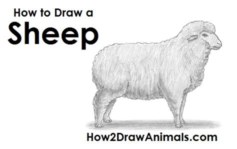 how to a sheep how to draw a sheep