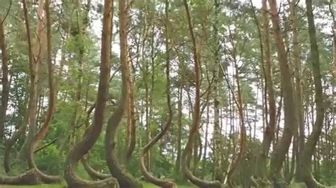 mysterious crooked forest in west pomerania poland natural wonders crooked forest poland youtube