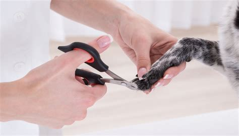 puppy s at home tips 6 safety tips for cutting s nails at home mydogsrock